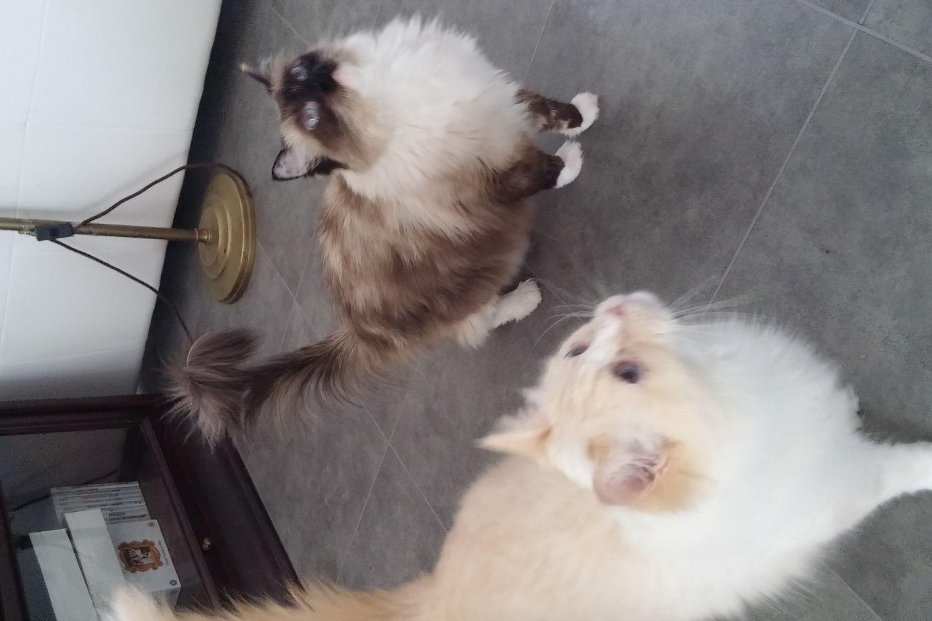 2 ras katten 'RAGDOLL' met certificaten zoeken naar nieuw 'thuis'.