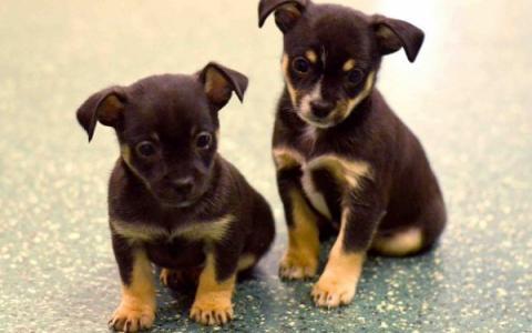 Chihuahua x Pinscher pups