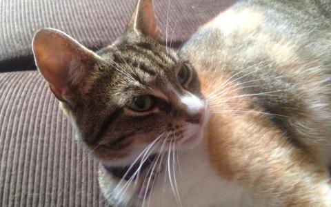 Cyperse lapjes kat zoekt nieuw thuis